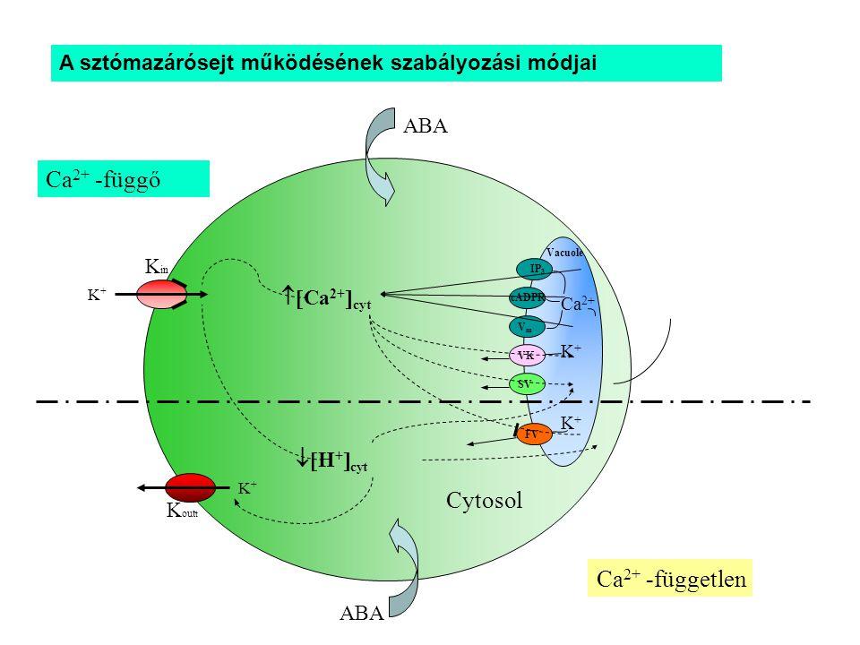 Ca 2+ VK SV FV K+K+ Vacuole  Ca 2+  cyt K+K+ Ca 2+ -függő Ca 2+ -független  H +  cyt ABA IP 3 VmVm cADPR K+K+ K+K+ K in K out t Cytosol A sztómazárósejt működésének szabályozási módjai