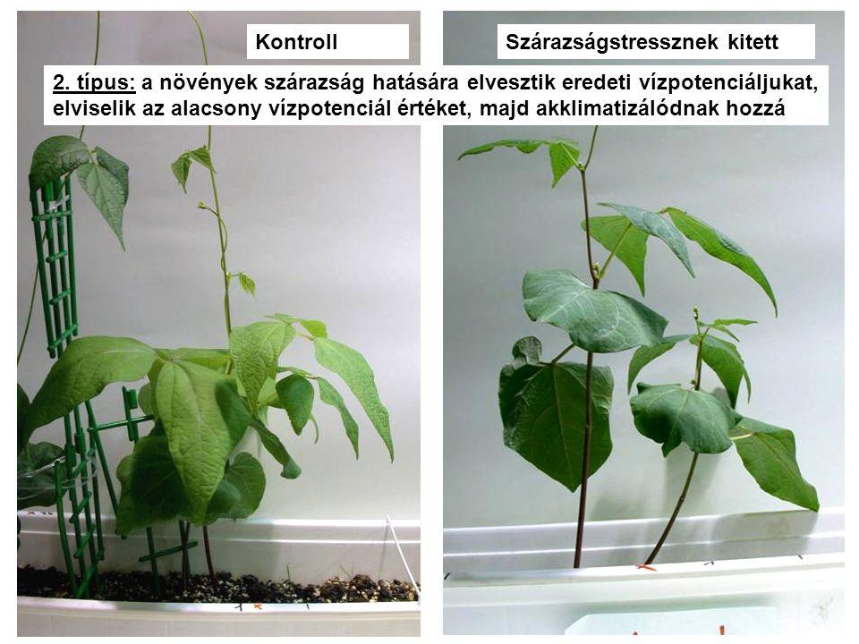 KontrollSzárazságstressznek kitett 2. típus: a növények szárazság hatására elvesztik eredeti vízpotenciáljukat, elviselik az alacsony vízpotenciál ért