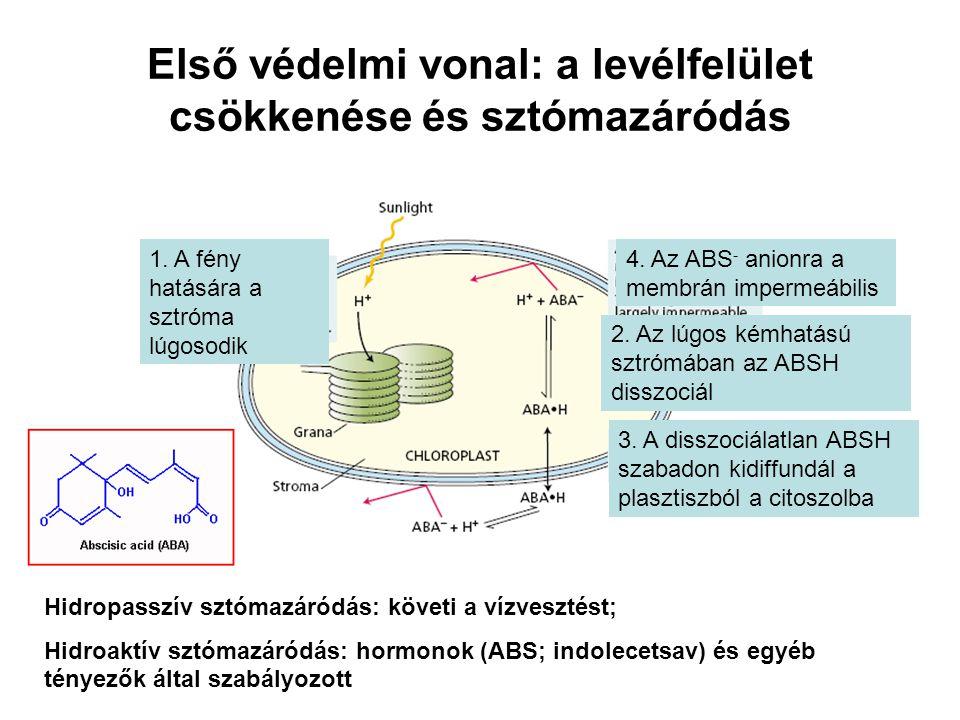 Első védelmi vonal: a levélfelület csökkenése és sztómazáródás 1. A fény hatására a sztróma lúgosodik 3. A disszociálatlan ABSH szabadon kidiffundál a