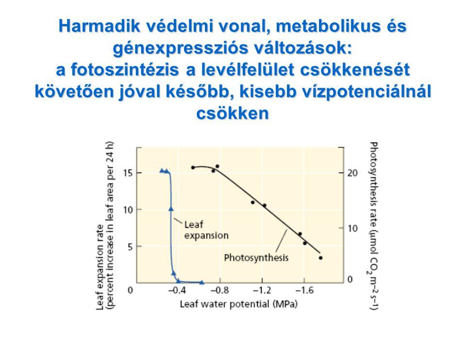 Harmadik védelmi vonal, metabolikus és génexpressziós változások: a fotoszintézis a levélfelület csökkenését követően jóval később, kisebb vízpotenciá