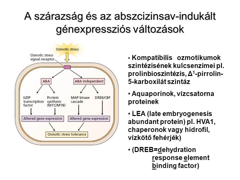 A szárazság és az abszcizinsav-indukált génexpressziós változások Kompatibilis ozmotikumok szintézisének kulcsenzimei pl. prolinbioszintézis, Δ 1 -pir