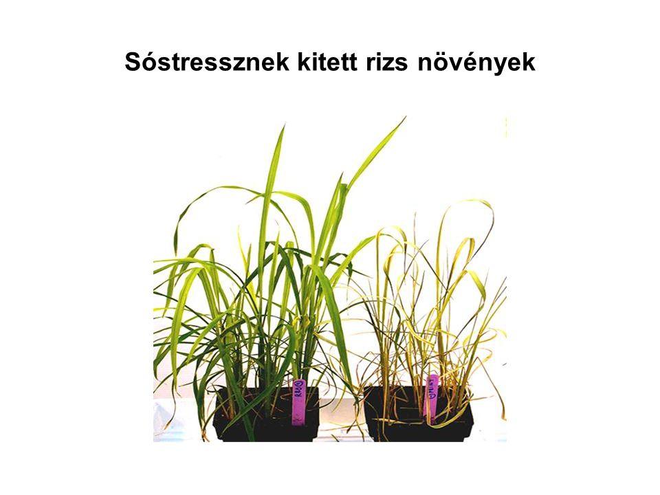 Sóstressznek kitett rizs növények