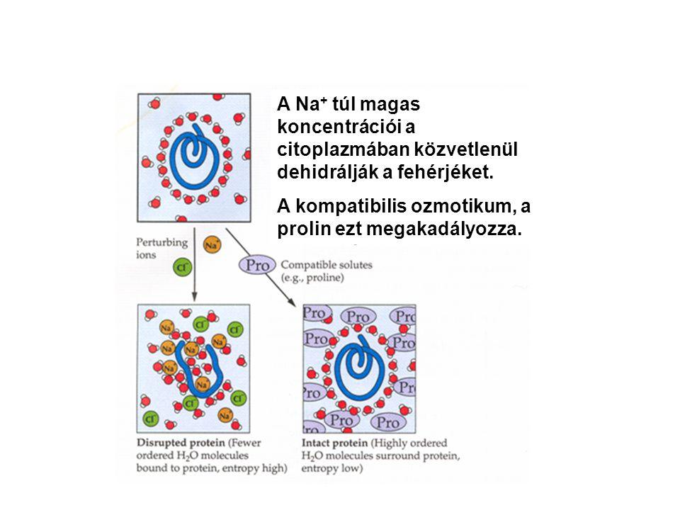 A Na + túl magas koncentrációi a citoplazmában közvetlenül dehidrálják a fehérjéket. A kompatibilis ozmotikum, a prolin ezt megakadályozza.