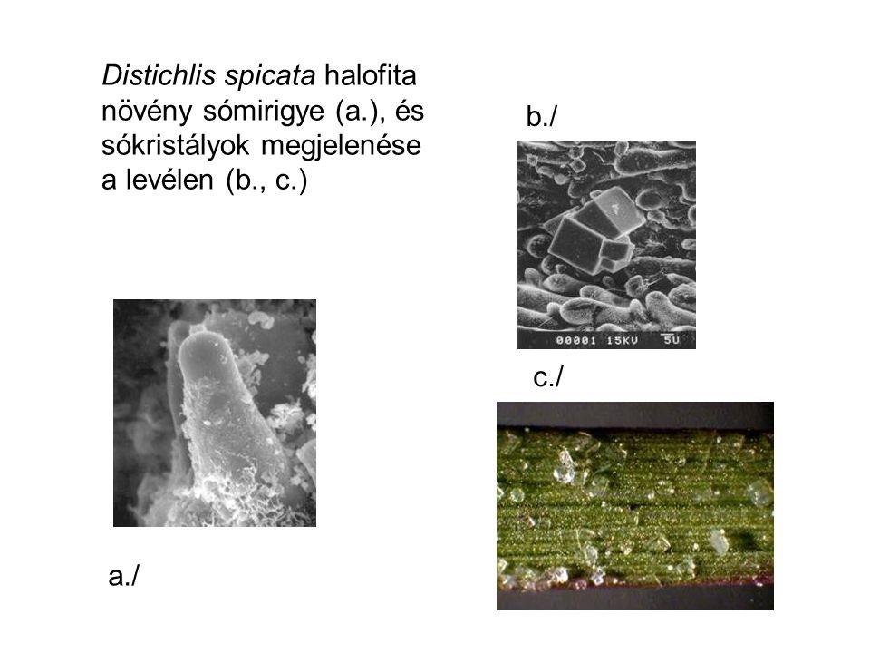 Distichlis spicata halofita növény sómirigye (a.), és sókristályok megjelenése a levélen (b., c.) a./ b./ c./