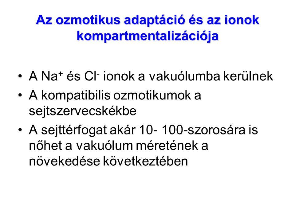 Az ozmotikus adaptáció és az ionok kompartmentalizációja A Na + és Cl - ionok a vakuólumba kerülnek A kompatibilis ozmotikumok a sejtszervecskékbe A s