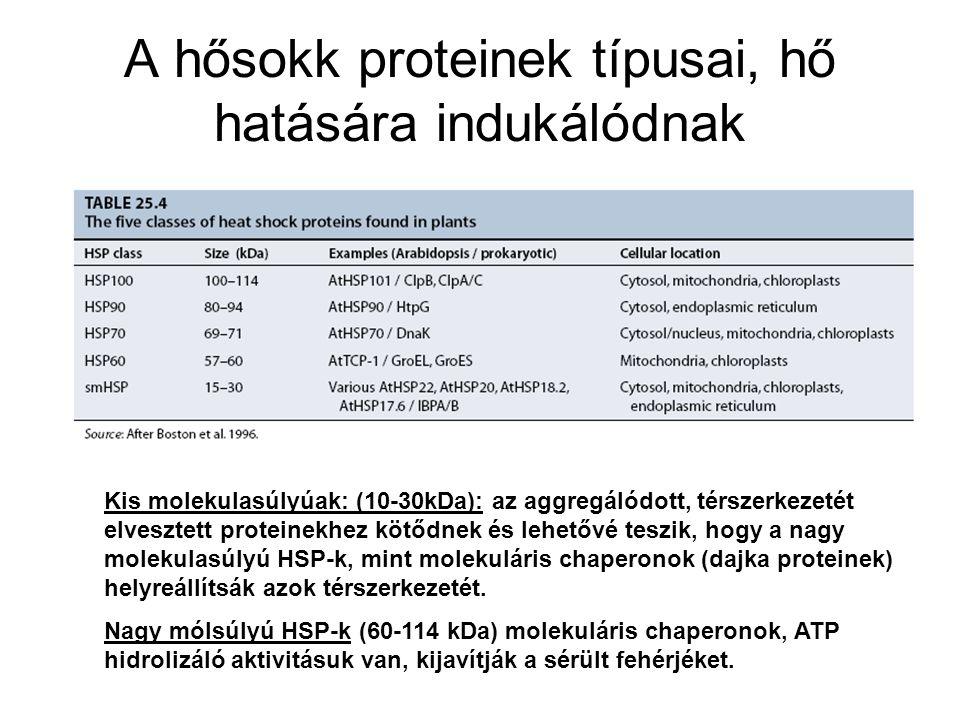 A hősokk proteinek típusai, hő hatására indukálódnak Kis molekulasúlyúak: (10-30kDa): az aggregálódott, térszerkezetét elvesztett proteinekhez kötődne