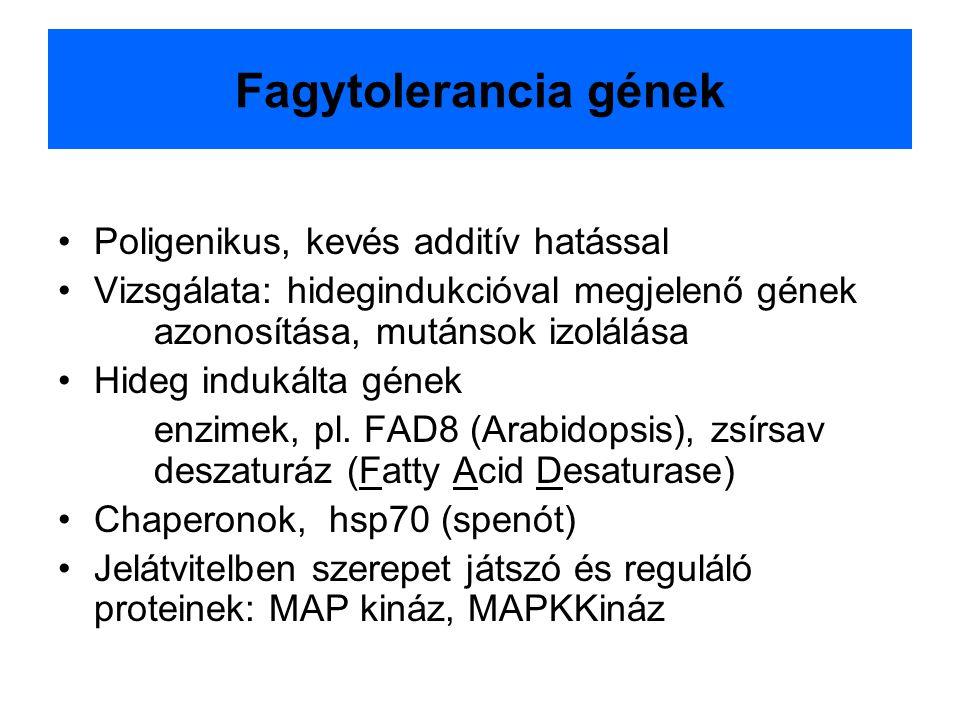 Fagytolerancia gének Poligenikus, kevés additív hatással Vizsgálata: hidegindukcióval megjelenő gének azonosítása, mutánsok izolálása Hideg indukálta