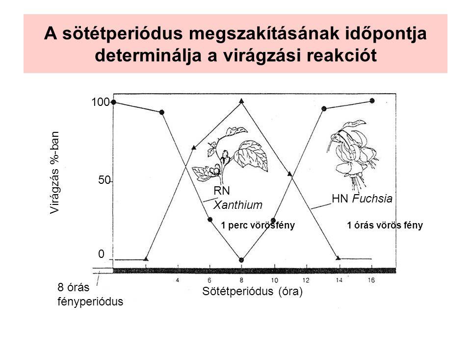 A sötétperiódus megszakításának időpontja determinálja a virágzási reakciót 8 órás fényperiódus Sötétperiódus (óra) Virágzás %-ban 0 50 100 HN Fuchsia