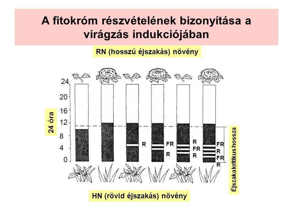 A fitokróm részvételének bizonyítása a virágzás indukciójában 24 óra 0 4 8 12 16 20 24 Éjszaka kritikus hossza RN (hosszú éjszakás) növény HN (rövid é