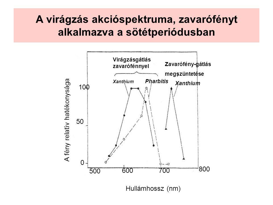 A virágzás akcióspektruma, zavarófényt alkalmazva a sötétperiódusban 500 600700 800 Hullámhossz (nm) 0 50 100 A fény relatív hatékonysága Virágzásgátl
