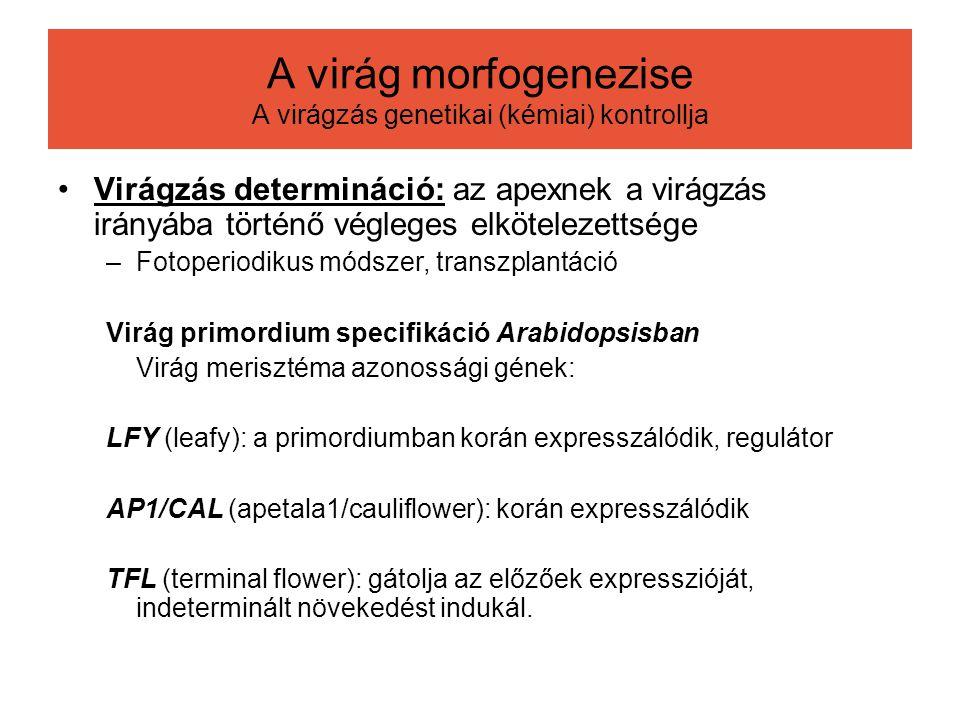 Virágzás determináció: az apexnek a virágzás irányába történő végleges elkötelezettsége –Fotoperiodikus módszer, transzplantáció Virág primordium spec