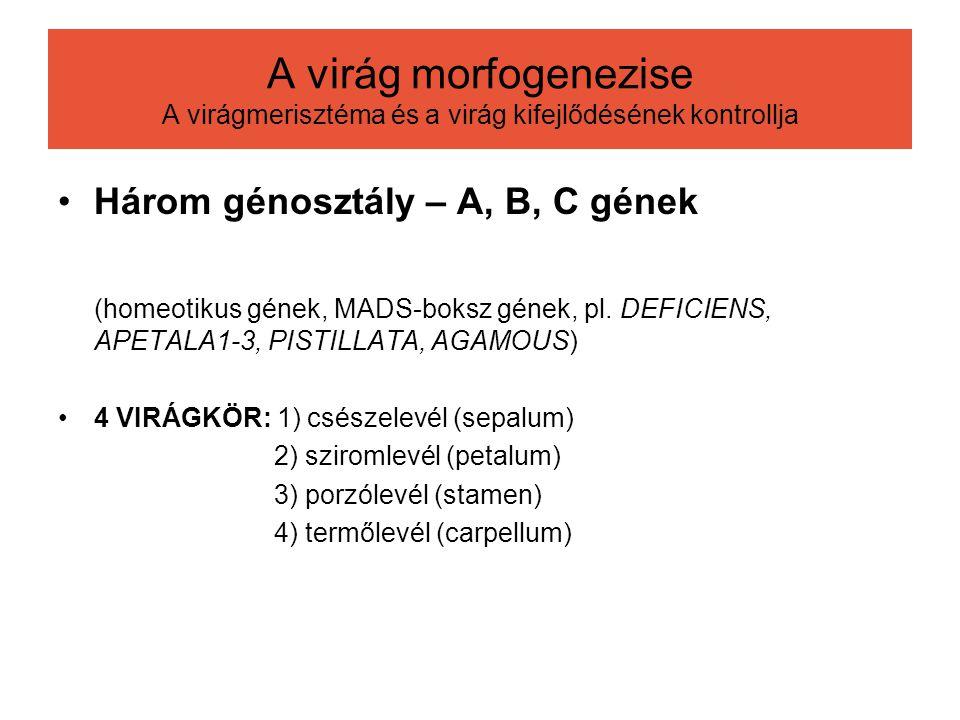 A virág morfogenezise A virágmerisztéma és a virág kifejlődésének kontrollja Három génosztály – A, B, C gének (homeotikus gének, MADS-boksz gének, pl.