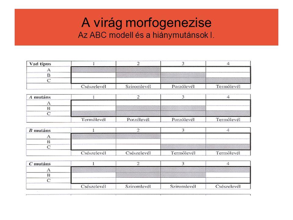 A virág morfogenezise Az ABC modell és a hiánymutánsok I.