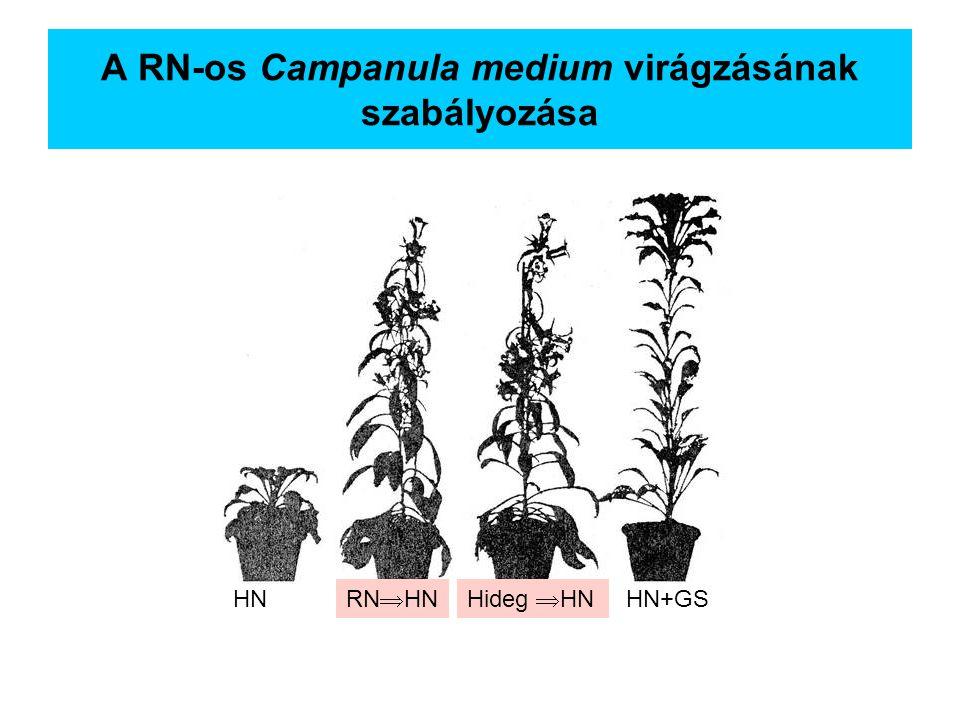 A RN-os Campanula medium virágzásának szabályozása HN RN  HNHideg  HN HN+GS