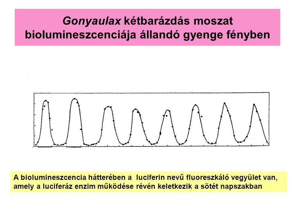 Gonyaulax kétbarázdás moszat biolumineszcenciája állandó gyenge fényben A biolumineszcencia hátterében a luciferin nevű fluoreszkáló vegyület van, ame