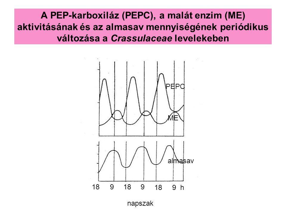 A PEP-karboxiláz (PEPC), a malát enzim (ME) aktivitásának és az almasav mennyiségének periódikus változása a Crassulaceae levelekeben PEPC ME almasav