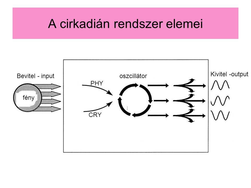 A cirkadián rendszer elemei Bevitel - input fény oszcillátor Kivitel -output PHY CRY