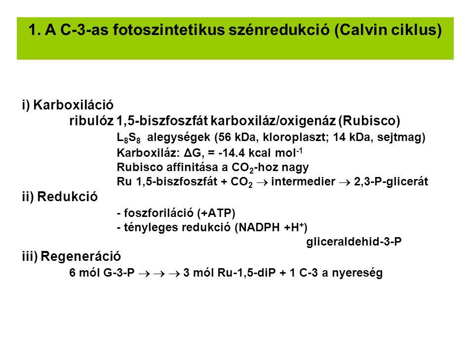 i) Karboxiláció ribulóz 1,5-biszfoszfát karboxiláz/oxigenáz (Rubisco) L 8 S 8 alegységek (56 kDa, kloroplaszt; 14 kDa, sejtmag) Karboxiláz: ΔG, = -14.4 kcal mol -1 Rubisco affinitása a CO 2 -hoz nagy Ru 1,5-biszfoszfát + CO 2  intermedier  2,3-P-glicerát ii) Redukció - foszforiláció (+ATP) - tényleges redukció (NADPH +H + ) gliceraldehid-3-P iii) Regeneráció 6 mól G-3-P    3 mól Ru-1,5-diP + 1 C-3 a nyereség 1.