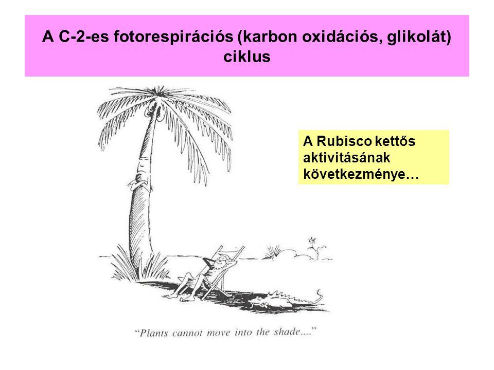 A C-2-es fotorespirációs (karbon oxidációs, glikolát) ciklus A Rubisco kettős aktivitásának következménye…