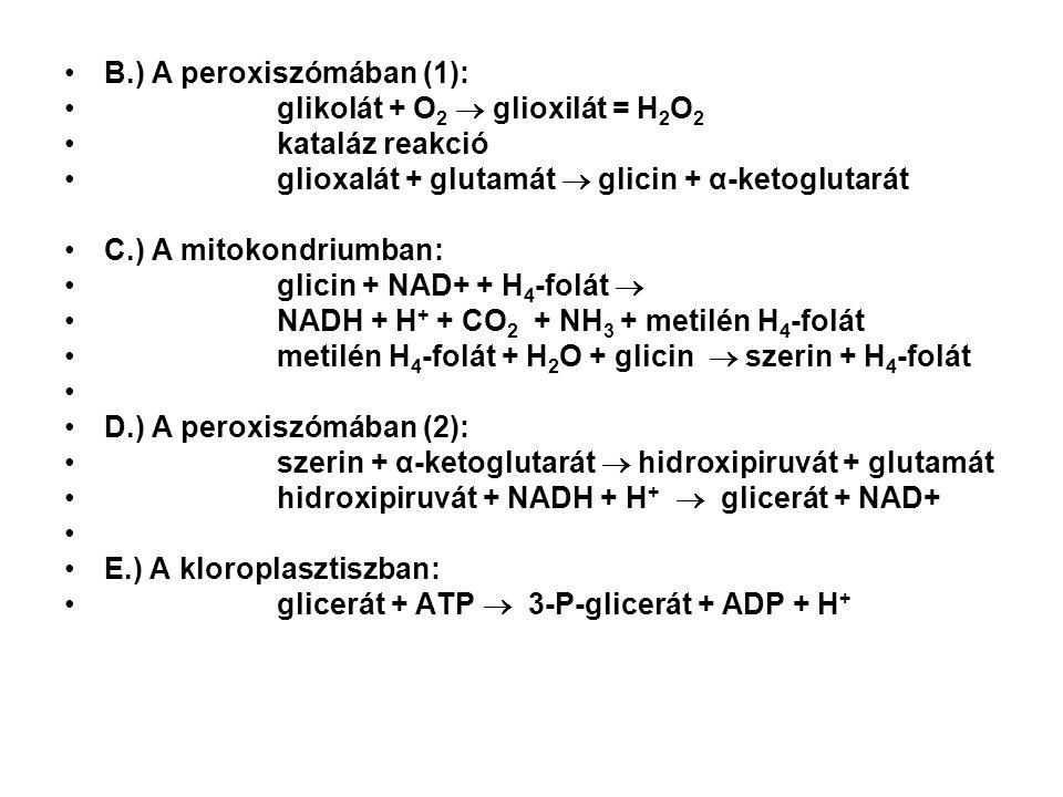 B.) A peroxiszómában (1): glikolát + O 2  glioxilát = H 2 O 2 kataláz reakció glioxalát + glutamát  glicin + α-ketoglutarát C.) A mitokondriumban: glicin + NAD+ + H 4 -folát  NADH + H + + CO 2 + NH 3 + metilén H 4 -folát metilén H 4 -folát + H 2 O + glicin  szerin + H 4 -folát D.) A peroxiszómában (2): szerin + α-ketoglutarát  hidroxipiruvát + glutamát hidroxipiruvát + NADH + H +  glicerát + NAD+ E.) A kloroplasztiszban: glicerát + ATP  3-P-glicerát + ADP + H +