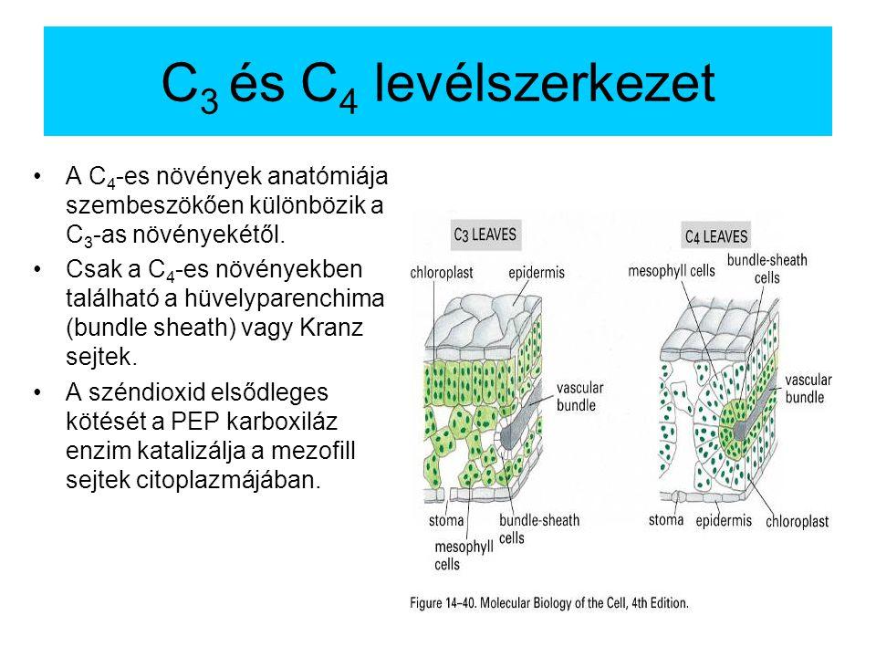 C 3 és C 4 levélszerkezet A C 4 -es növények anatómiája szembeszökően különbözik a C 3 -as növényekétől.