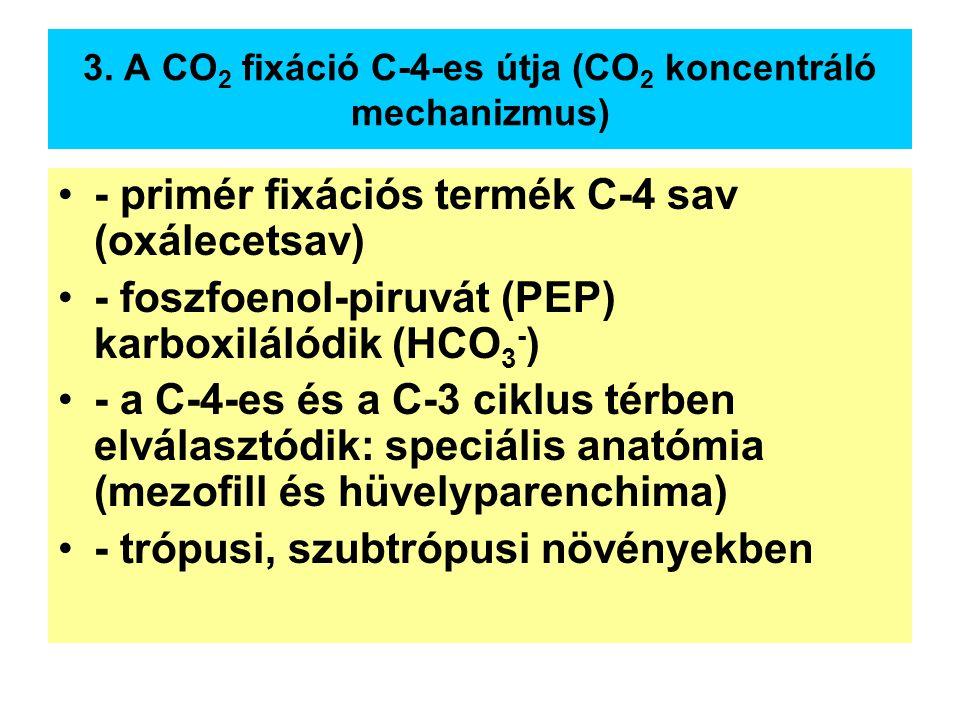 3. A CO 2 fixáció C-4-es útja (CO 2 koncentráló mechanizmus) - primér fixációs termék C-4 sav (oxálecetsav) - foszfoenol-piruvát (PEP) karboxilálódik