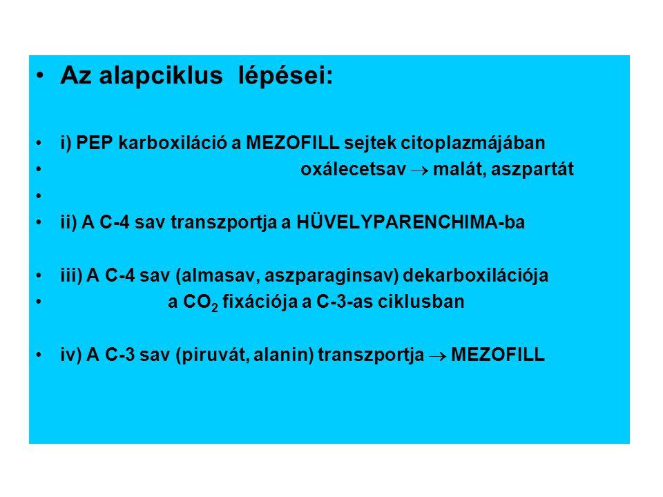 Az alapciklus lépései: i) PEP karboxiláció a MEZOFILL sejtek citoplazmájában oxálecetsav  malát, aszpartát ii) A C-4 sav transzportja a HÜVELYPARENCH