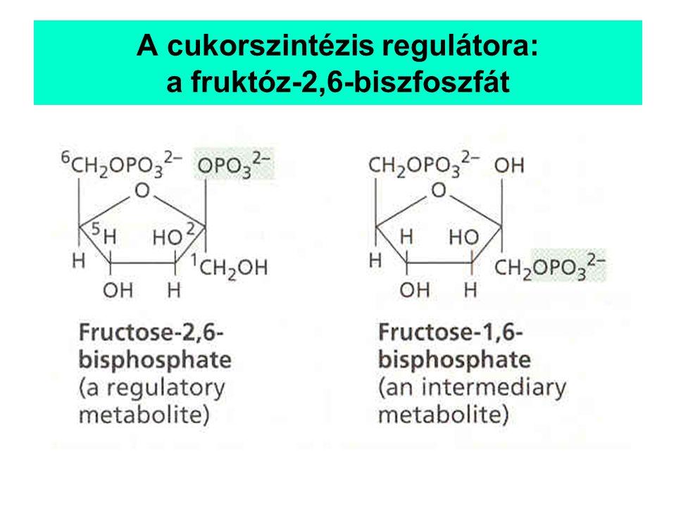 A cukorszintézis regulátora: a fruktóz-2,6-biszfoszfát