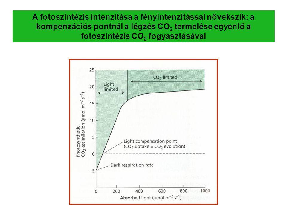 A fotoszintézis intenzitása a fényintenzitással növekszik: a kompenzációs pontnál a légzés CO 2 termelése egyenlő a fotoszintézis CO 2 fogyasztásával