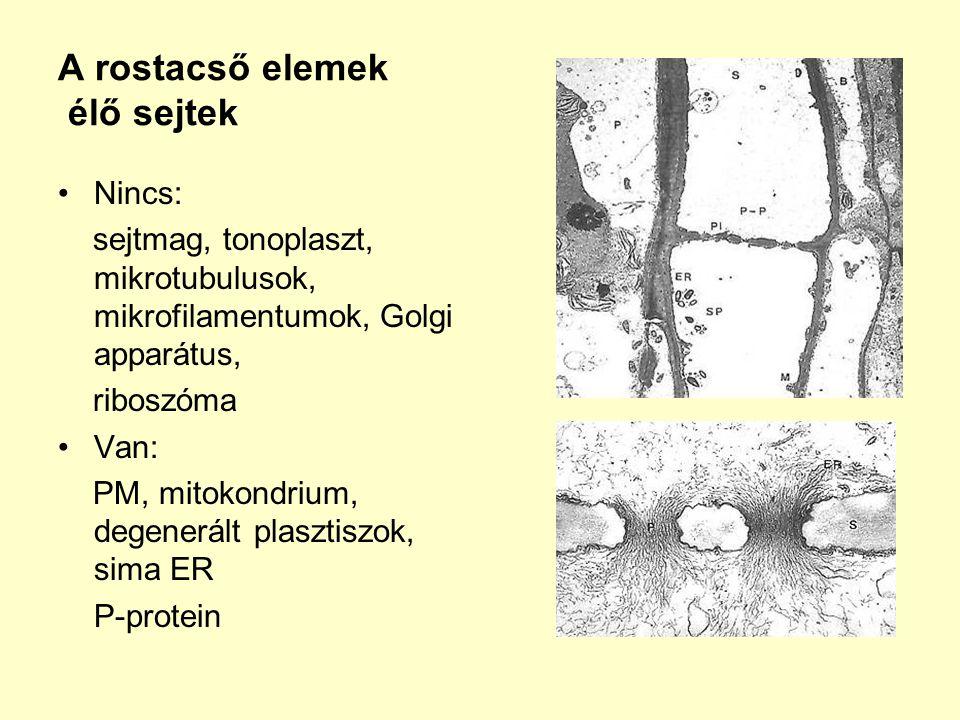 A rostacső elemek élő sejtek Nincs: sejtmag, tonoplaszt, mikrotubulusok, mikrofilamentumok, Golgi apparátus, riboszóma Van: PM, mitokondrium, degenerá