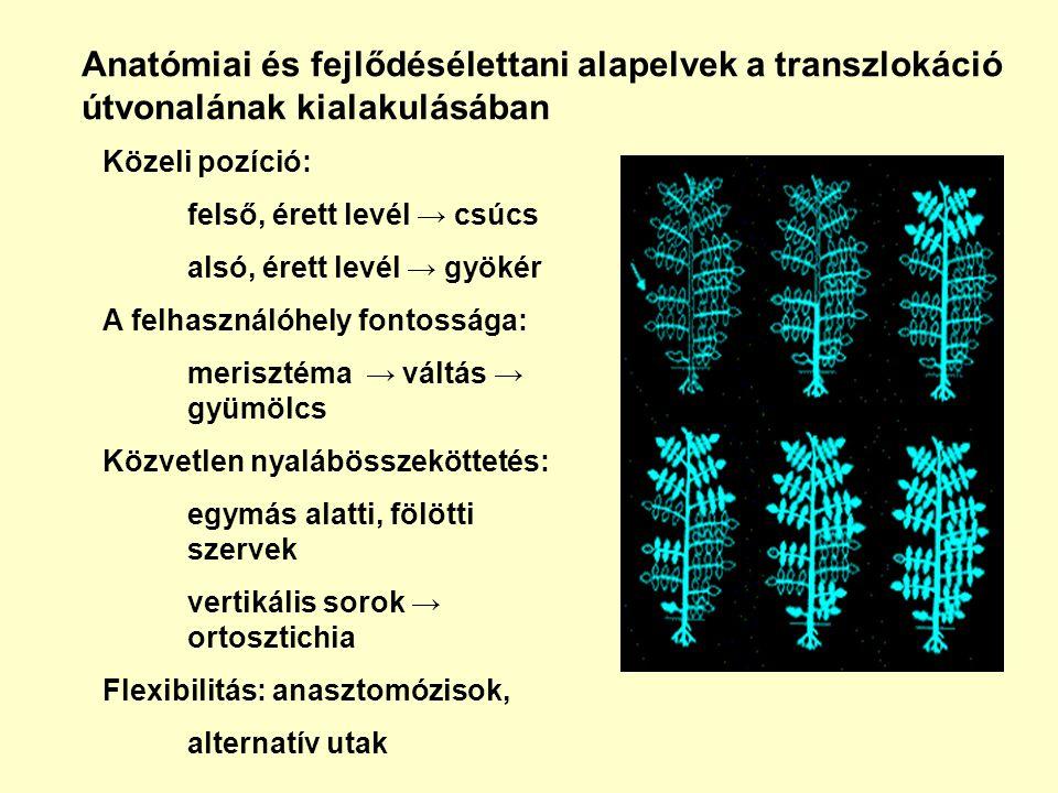 Anatómiai és fejlődésélettani alapelvek a transzlokáció útvonalának kialakulásában Közeli pozíció: felső, érett levél → csúcs alsó, érett levél → gyök