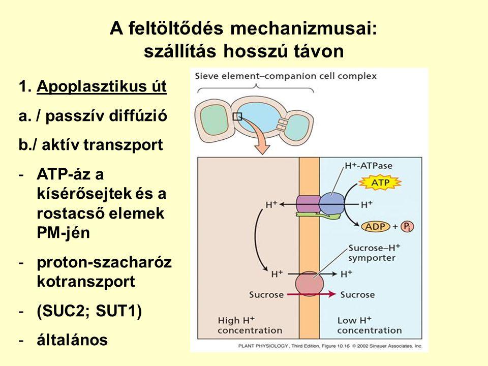 A feltöltődés mechanizmusai: szállítás hosszú távon 1.Apoplasztikus út a. / passzív diffúzió b./ aktív transzport -ATP-áz a kísérősejtek és a rostacső