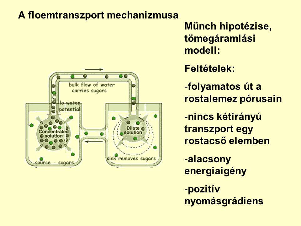 A floemtranszport mechanizmusa Münch hipotézise, tömegáramlási modell: Feltételek: -folyamatos út a rostalemez pórusain -nincs kétirányú transzport egy rostacső elemben -alacsony energiaigény -pozitív nyomásgrádiens