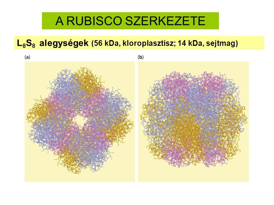 Rubisco: az oldható fehérjék 40%-a.