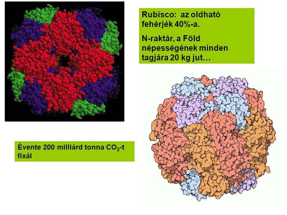 Rubisco: az oldható fehérjék 40%-a. N-raktár, a Föld népességének minden tagjára 20 kg jut… Évente 200 milliárd tonna CO 2 -t fixál