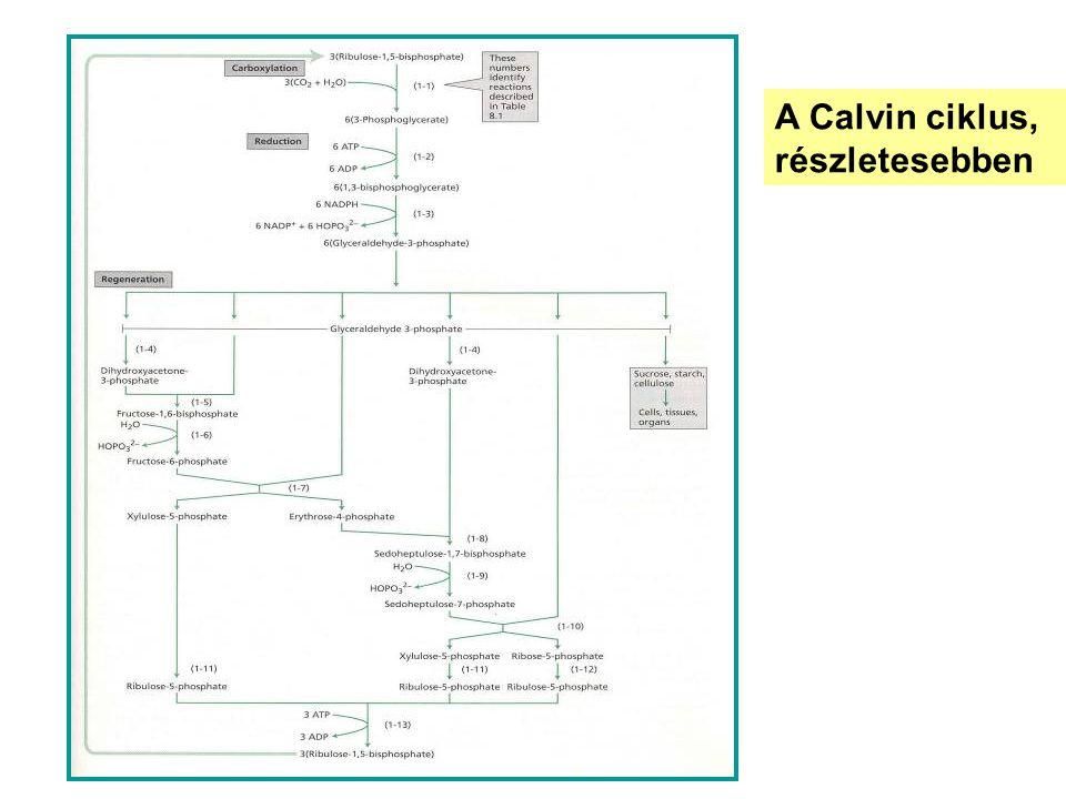 A Calvin ciklus, részletesebben