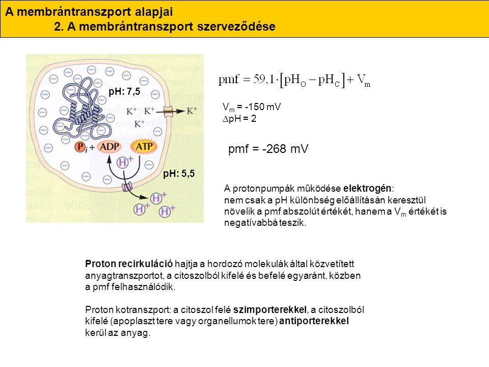 A membrántranszport alapjai 2. A membrántranszport szerveződése pH: 5,5 pH: 7,5 V m = -150 mV  pH = 2 pmf = -268 mV A protonpumpák működése elektrogé