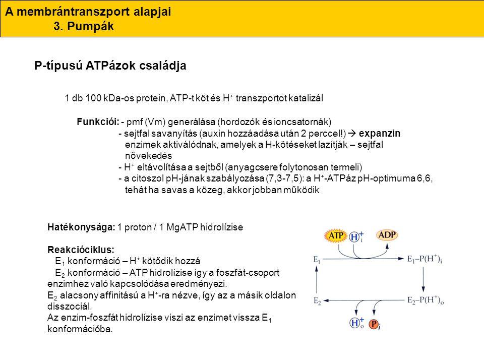 A membrántranszport alapjai 3. Pumpák P-típusú ATPázok családja 1 db 100 kDa-os protein, ATP-t köt és H + transzportot katalizál Funkciói: - pmf (Vm)