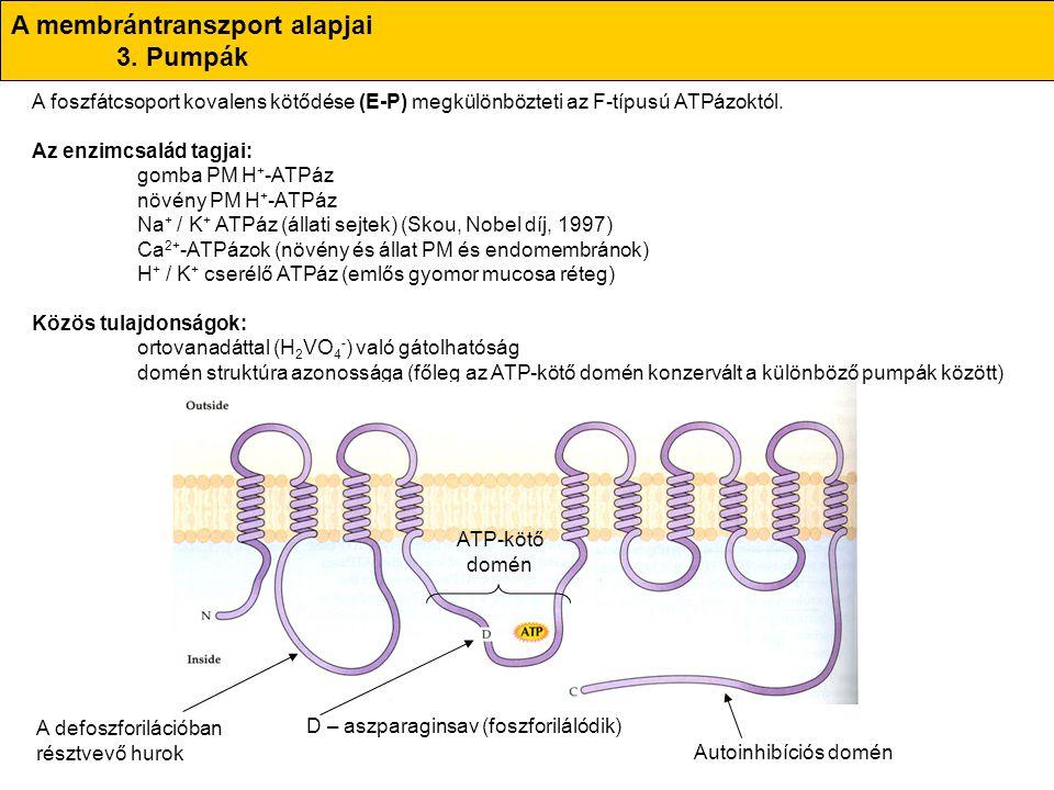A membrántranszport alapjai 3. Pumpák A foszfátcsoport kovalens kötődése (E-P) megkülönbözteti az F-típusú ATPázoktól. Az enzimcsalád tagjai: gomba PM
