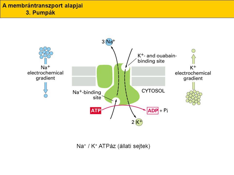 A membrántranszport alapjai 3. Pumpák Na + / K + ATPáz (állati sejtek)