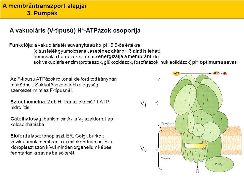 A membrántranszport alapjai 3. Pumpák A vakuoláris (V-típusú) H + -ATPázok csoportja Funkciója: a vakuoláris tér savanyítása kb. pH 5,5-ös értékre (ci
