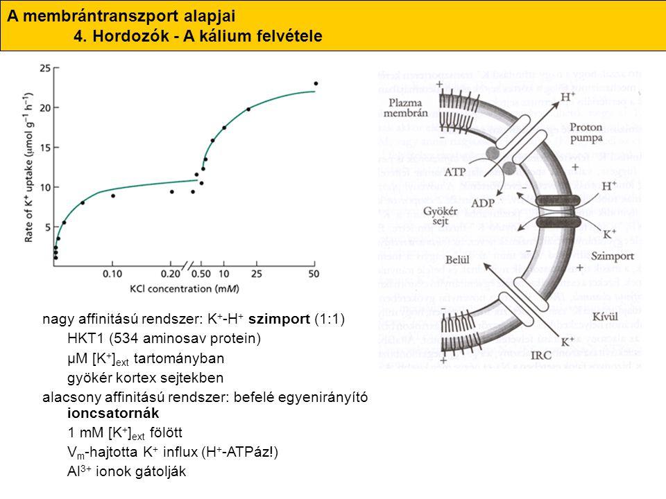 nagy affinitású rendszer: K + -H + szimport (1:1) HKT1 (534 aminosav protein) μM [K + ] ext tartományban gyökér kortex sejtekben alacsony affinitású r