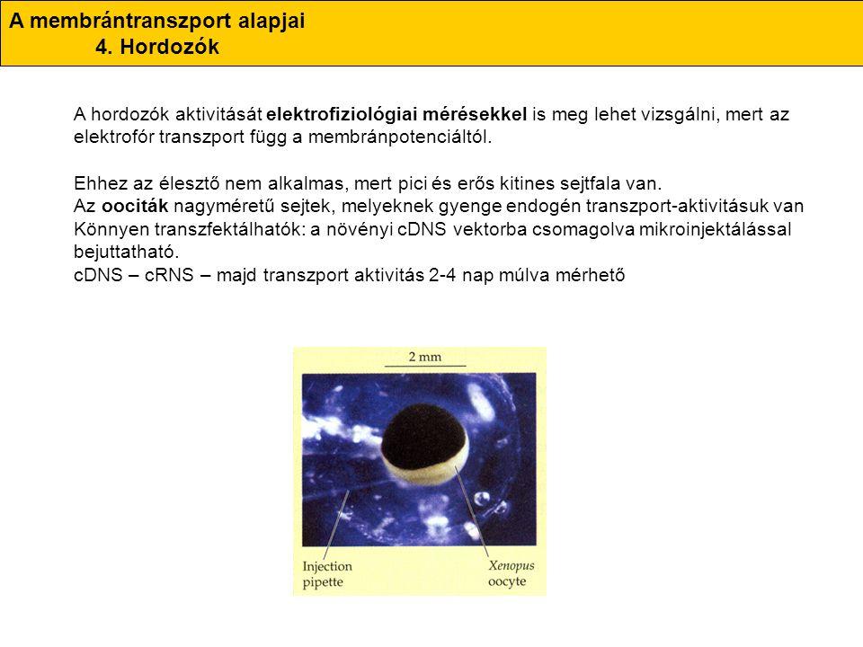 A membrántranszport alapjai 4. Hordozók A hordozók aktivitását elektrofiziológiai mérésekkel is meg lehet vizsgálni, mert az elektrofór transzport füg