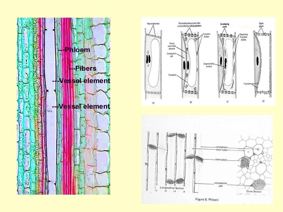 Rostalemez: Pórusátmérő – 1-15 μm Záródás: -sebzési, nyugalmi, végleges kallóz - P-protein
