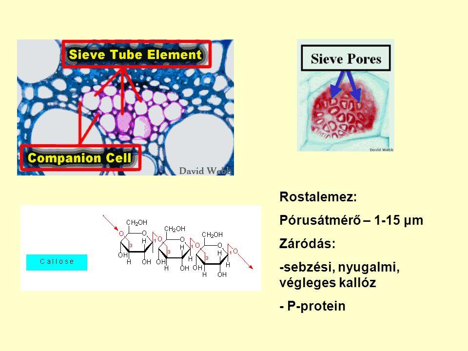 A rostacső elemek élő sejtek Nincs: sejtmag, tonoplaszt, mikrotubulusok, mikrofilamentumok, Golgi apparátus, riboszóma Van: PM, mitokondrium, degenerált plasztiszok, sima ER P-protein