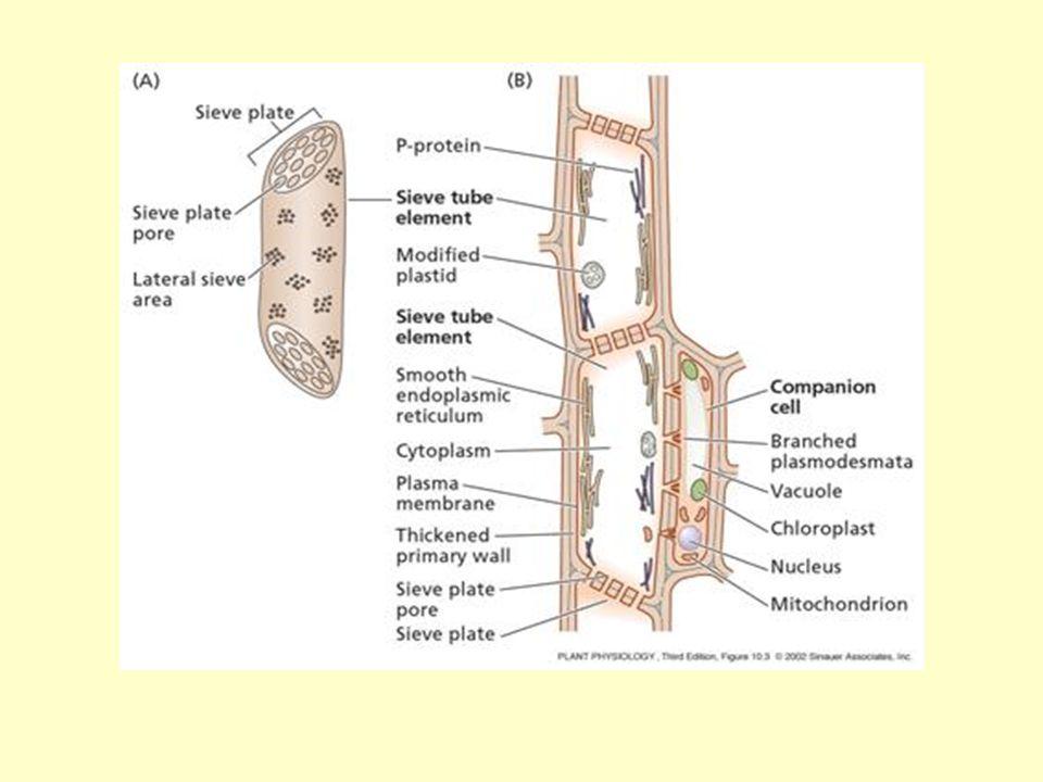 A kísérősejtek típusai Közönséges kísérősejt Transzfer sejt Intermedier sejt