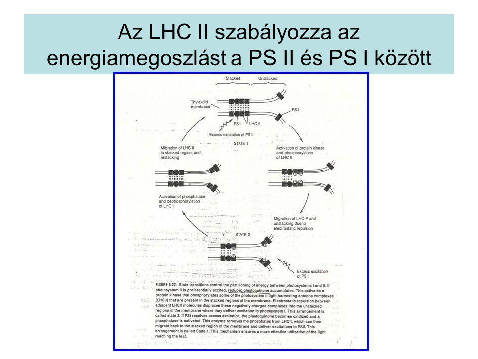 Az LHC II szabályozza az energiamegoszlást a PS II és PS I között