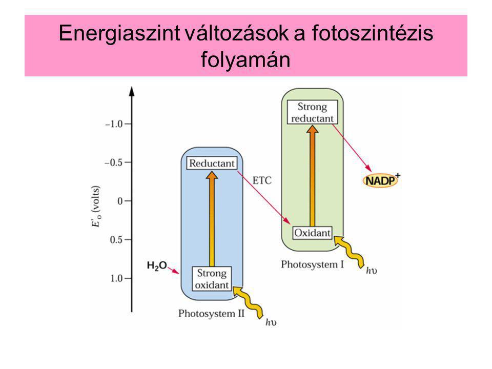 14-47 Energiaszint változások a fotoszintézis folyamán Minél nagyobb az elektron energiatartalma annál negatívabb a redox potenciálja Az első fényreakció a PS II-ben történik (680 nm) Az elektron energiája csökken az elektrontranszport során Újragerjesztés a PS I-ben (700 nm).