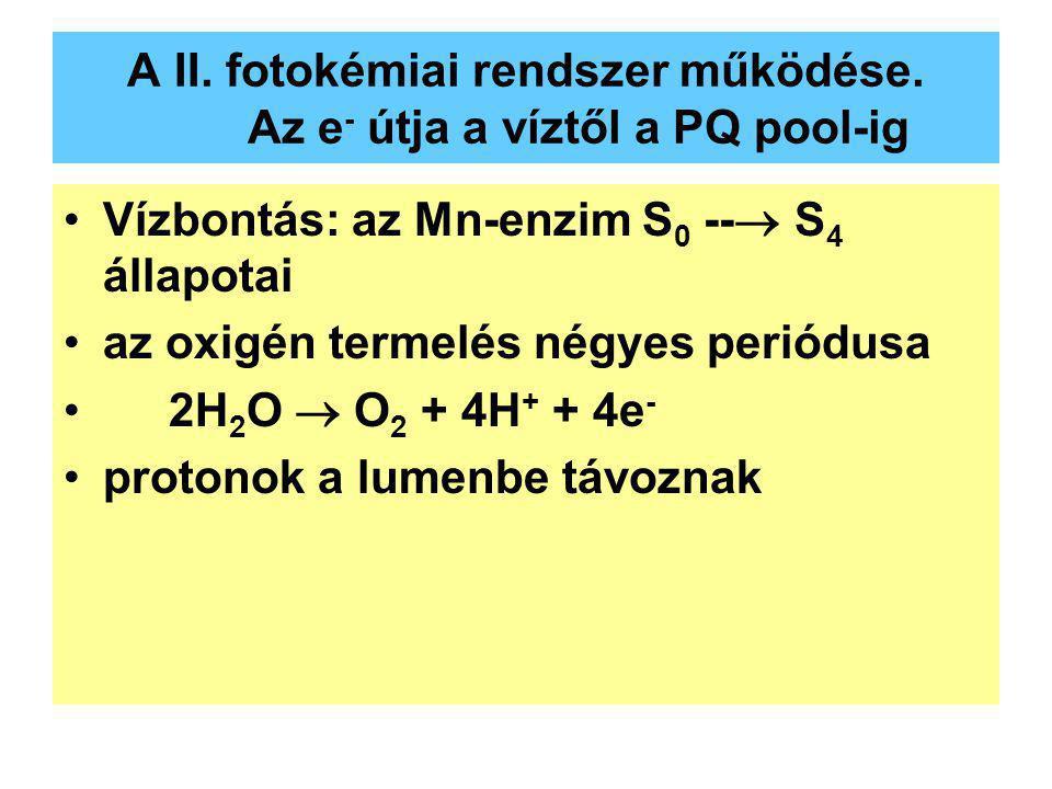A II. fotokémiai rendszer működése. Az e - útja a víztől a PQ pool-ig Vízbontás: az Mn-enzim S 0 --  S 4 állapotai az oxigén termelés négyes periódus