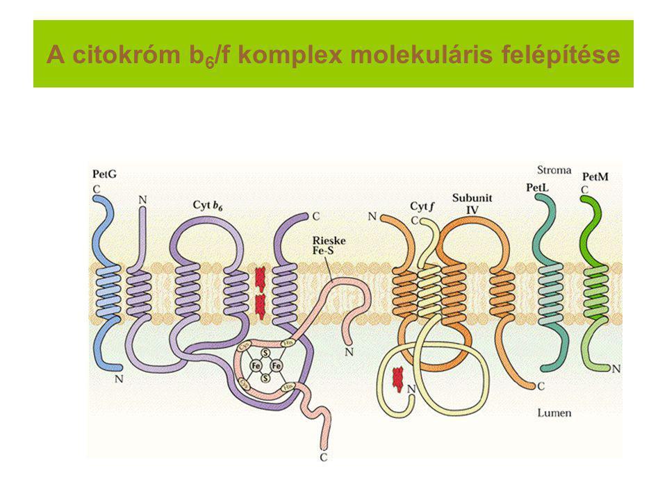 A citokróm b 6 /f komplex molekuláris felépítése